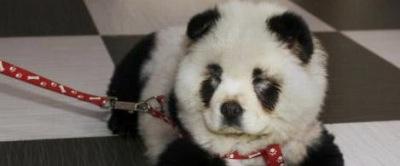 Panda oder Hund
