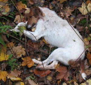 erschossener Terrier