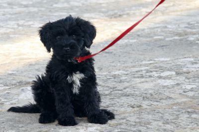portugiesischer Wasserhund