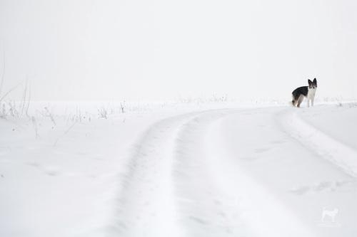 Schneehase
