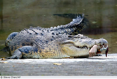Taiwan Krokodil