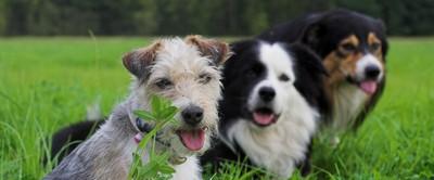 Hundegruppe mit Dame