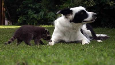 Waschbären look a like contest