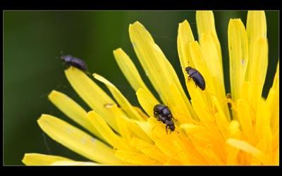 Wie kleine Käfer kleine Käfer machen
