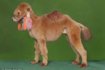 Pudel als Kamel