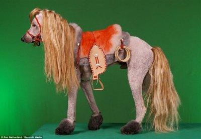 Pudel als Pferd