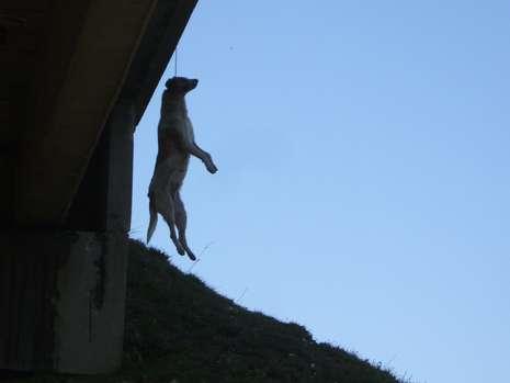 Hund an Brücke aufgehängt
