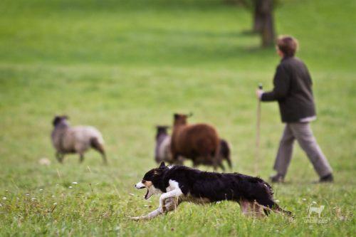 Hund, Handler und Schafe