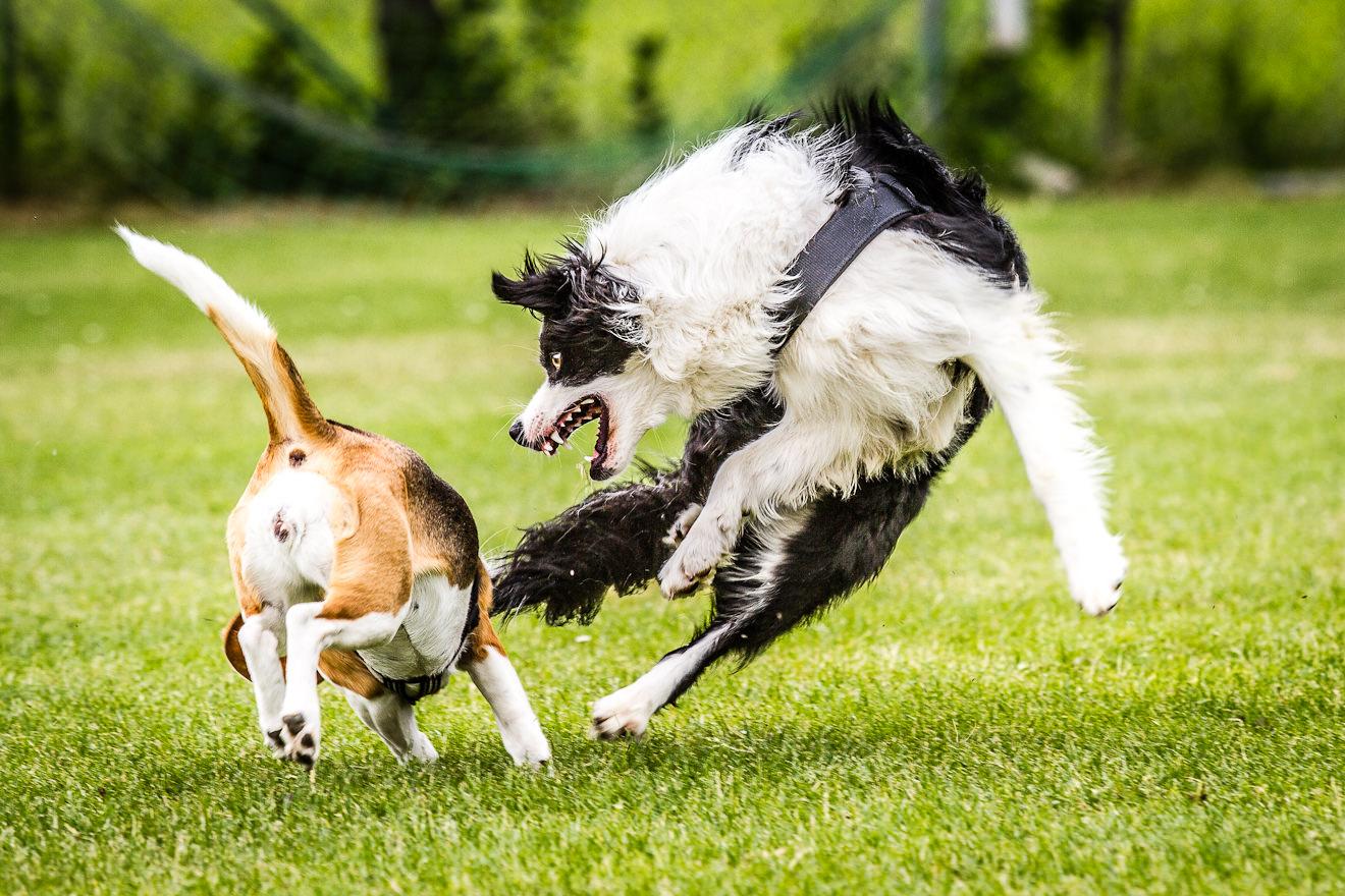 Beagle & Border im Spiel